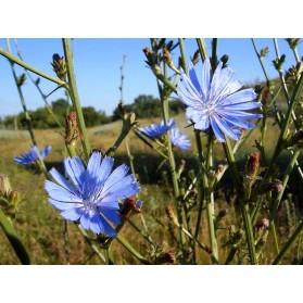 Chicory Traveler (Cichorium Intybus) 100g